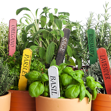 potted garden herbs